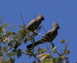 Go Away Birds - Grey Lourie