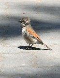 Juvenile Cape Sparrow