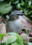 Grey-headed Robins