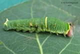 4176 - Canadian tiger swallowtail - Papillon tigré du Canada m12