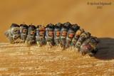 8308 - Rusty Tussock Moth - Orgyia antiqua caterpillar chenille m12