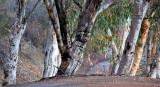 alta_tree3.jpg