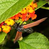 Hodges#8272* Spotted Oleander Caterpillar Moth * Empyreuma affinis