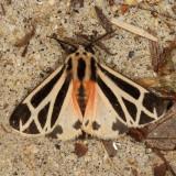 Hodges#8169 * Harnessed Tiger Moth * Apantesis phalerata