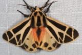 Hodges#8171 * Nais Tiger Moth * Apantesis nais