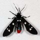 Hodges#8284 - Oleander Moth * Syntomeida epilais