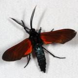 Hodges#8272 * Spotted Oleander Caterpillar Moth * Empyreuma affinis