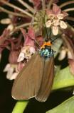 Hodges#8262 * Virginia Ctenucha * Ctenucha virginica
