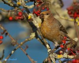 Tallbit / Pine Grosbeak