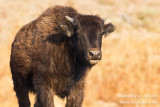 _MG_7992 yellowstone hayden valley bison calf w.jpg