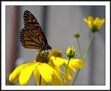 aug 25 monarch