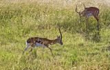 Thompson's gazelle, impala in the background