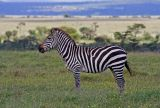 Zebra with muddy nose