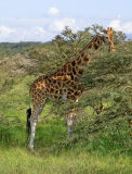 Rothschild's giraffe, browsing thorn trees