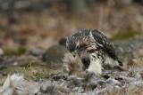 Hawk on Whitetail Pelt