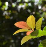Hard Alder (Pullea stutzeri) (Cunoniaceae)