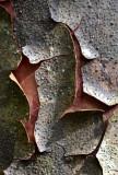 Mountain Kauri (Agathis atropurpurea)