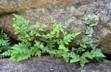 Rock Fern (Cheilanthes sp)
