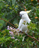 * Sulphur-crested Cockatoo *
