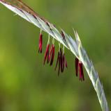 Giant Spear-grass (Heteropogon triticeus)