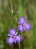 a fringe-lily (Thysanotus banksii)