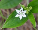 Schelhammera (Schelhammera multiflora)