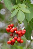 Climbing Nightshade (Solanum seaforthianum)