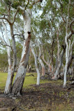 River Red Gums and 100 Mile Swamp