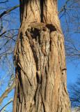 Black Locust Ghost Tree