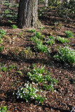 Snowdrops or Galanthus