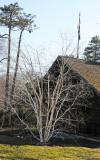 Birch or Betula