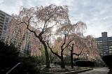 April 18, 2013 Photo Shoot - WSV Sasaki Garden & Brooklyn Botanic Garden