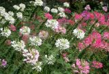 Cleome Garden