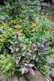 Persian Shield Foliage & Blackeyed Susans