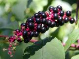 American Pokeweed Berries - Phytolacca americana