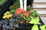 Sidewalk Garden - Chrysanthemums, Ipomea & Birch