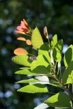 Smoke Tree Foliage