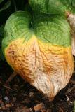 Changing Seasons - Hosta Foliage