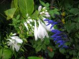 Hosta & Blue Salvia