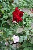 Red Rose & Morning Glory Blossoms
