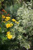 Garden Plot - Marigolds & Calamintha
