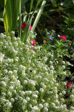 Garden Plot - Alyssum
