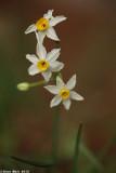 IMG_6149.jpg  Narcissus