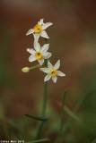IMG_6141.jpg  Narcissus