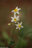 IMG_6132.jpg  Narcissus
