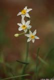 IMG_6140.jpg  Narcissus