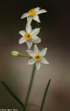 IMG_6120.jpg  Narcissus