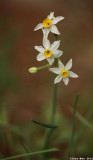 IMG_6140-1.jpg  Narcissus
