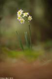 IMG_6660.jpg  Narcissus