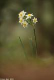 IMG_6675.jpg   Narcissus
